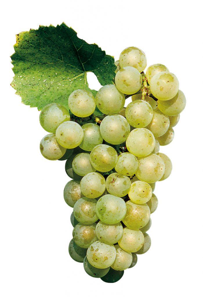Vitigno Chardonnay, dalle sue uve si estrae il buon vino, dalle bucce dell'uva si estrarrà ottima grappa!