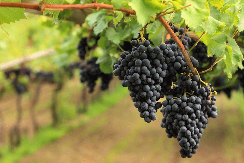 Il teroldego è un vitigno a bacca nera coltivato quasi esclusivamente in Trentino, nella zona denominata Piana Rotaliana, cui fanno capo i comuni di Mezzocorona, Mezzolombardo e la frazione di Grumo nel comune di San Michele all'Adige.