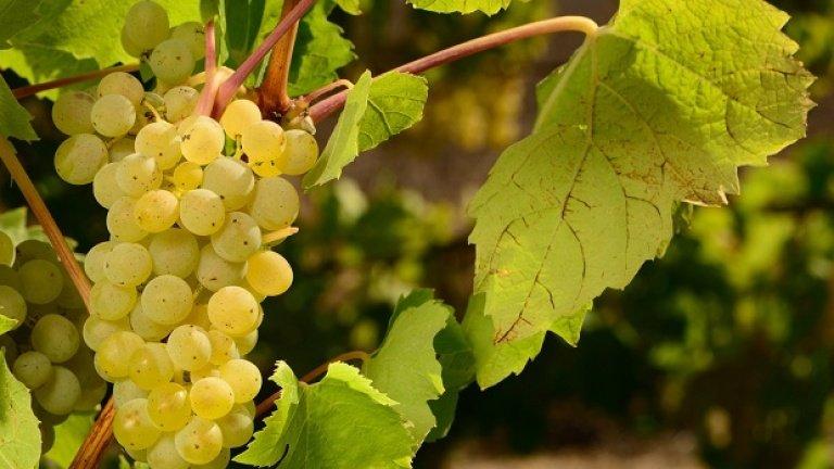 """Il vitigno Müller Thurgau fu """"creato"""" nel 1882 dal signor Hermann Müller, cittadino di Thurgau, attraverso gli incroci tra il Riesling renano e il Madeleine Royale."""