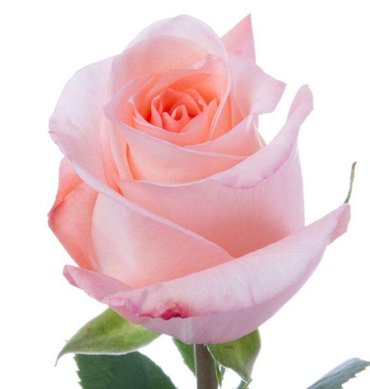 Il Rosolio è ottenuto mediante l'infusione di petali di rosa, vaniglia, zucchero e miele in delicata grappa Trentina Pisoni.